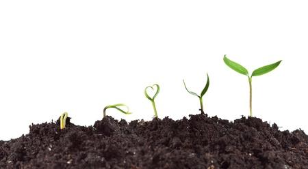 germinación: Germinación y el crecimiento de la planta - el amor por concepto de la naturaleza con las plántulas en forma de corazón Foto de archivo