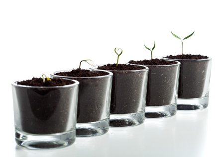 Young plant evolution stages - seedlings growing in small glasses photo
