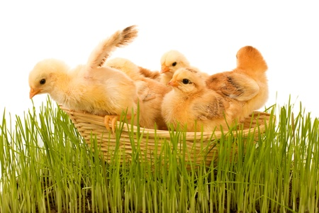 basketful: Basketful of fluffy yellow spring chickens in the grass Stock Photo