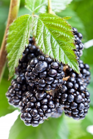 Fresh ripe blackberry on the twig with leaves