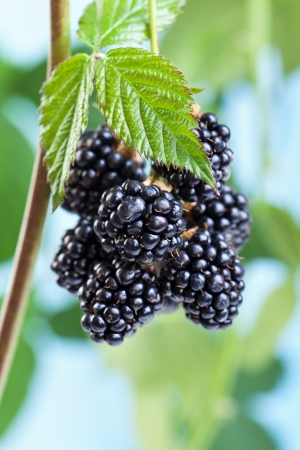 Blackberries growing and ripening on the twig - natural fruits against blue sky