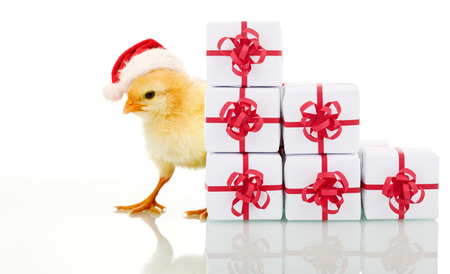 hat with feather: Christmas chicken with presents - isolated with reflection