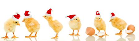 row: Lots of baby chicken at christmas wearing santa claus hats - isolated with reflection