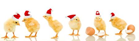 Veel baby kip met Kerstmis dragen van santa claus hoeden - geïsoleerd met reflectie
