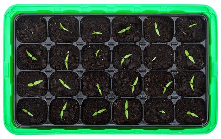 germinación: Bandeja de germinación con pequeñas plántulas perforando el suelo - vista superior