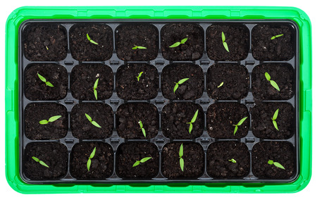 veggie tray: Germination tray with small seedlings piercing the soil - top view
