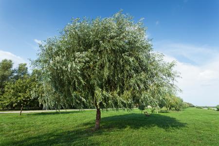 providing: Healthy vigorous tree in the park providing cool shade in the summer Stock Photo