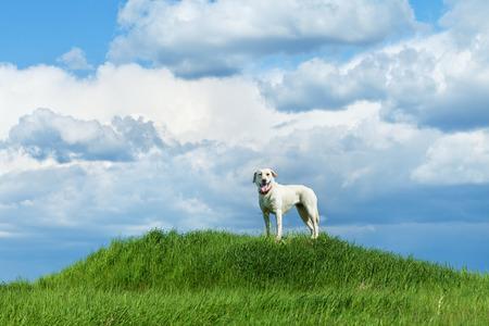 cielos abiertos: Perro que se coloca en una colina contra el cielo nublado - copia espacio grande Foto de archivo