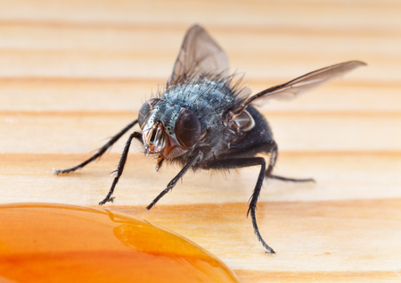 hairy legs: Macro shot of fly eating from honey drop on wooden surface