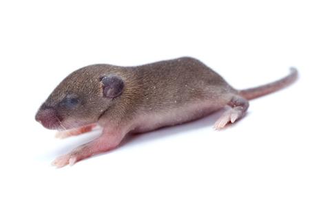 newborn rat: Macro closeup on baby house mouse  (mus musculus)