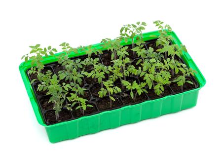 vigorous: Vigorous tomato seedlings in germination tray - isolated