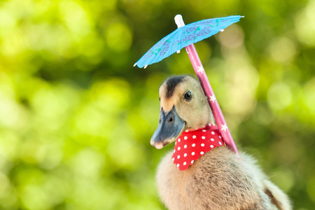 Elegant duckling with red scarf and umbrella on blurry green background