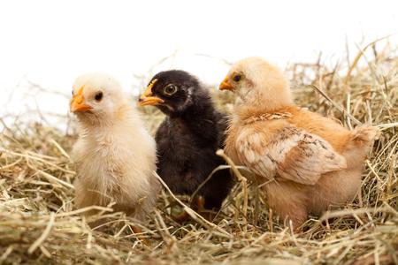 Three young chicken in hay looking with suspicion