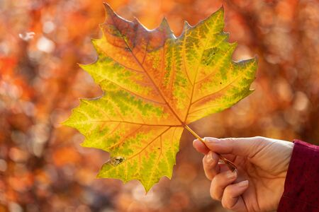 Woman hold fallen autumn leaf in hand - on red autumnal foliage background with the sun shining through 免版税图像 - 140016522