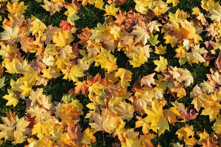 Yellow autumn leaves scattered on green grass, top down view - the start of fall season background