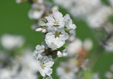 almond bud: Dream of spring