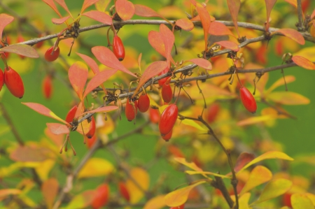 The berries of barberry photo