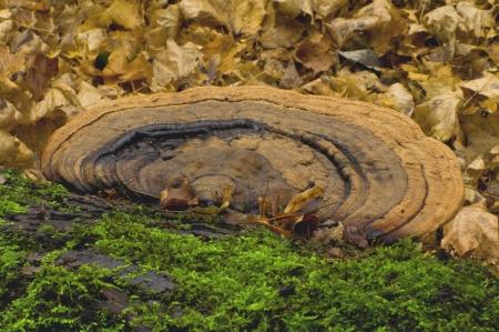basidiomycete: Mushroom tinder fungus  Ganoderma lipsiense