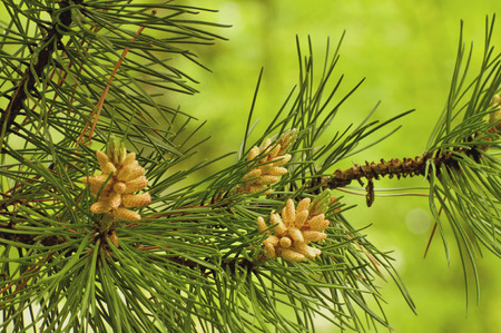 flower leaf: Young pine cones