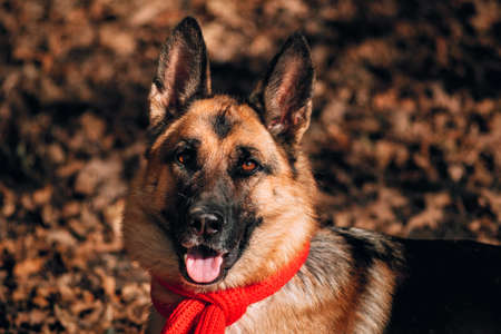 Beautiful picture of the dog for the calendar. Portrait of a black and red German shepherd in a red knitted scarf. Charming thoroughbred friendly dog. Shepherd dog on a background of Golden leaves. Foto de archivo