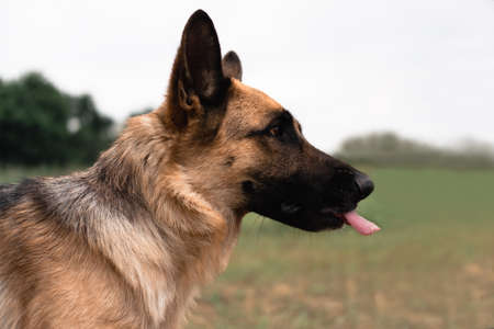 Portrait of a German shepherd. The Sheepdog stuck out its tongue. Dog walks in nature. Black and red German shepherd close-up.