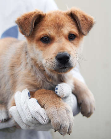 Small red stray puppy mongrel with beautiful big kind brown eyes and shaggy ears looks straight into soul. Take dog from shelter and give it happy life. Imagens