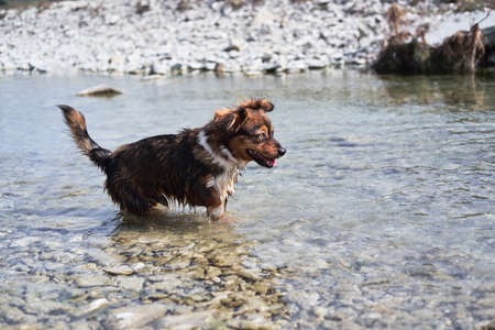 Charming little brown and white dog mongrel bathes in mountain cold river at shallow depth and enjoys life in nature. Walk with half breed dog near natural pond.