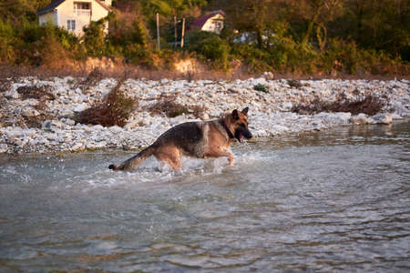 Adult black and red German Shepherd dog plays in water in cold quiet mountain river and enjoys life. Active walk with pet dog in fresh air in nature.