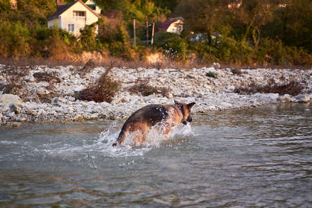 Active walk with pet dog in fresh air in nature. Black and red German Shepherd dog plays in cold water quiet mountain river and enjoys life.
