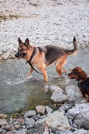 Adult black and red German Shepherd dog plays in water with friend small brown puppy mongrel. Dog games in fresh air in mountain river.