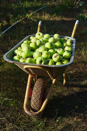 Collect fresh fruit from garden, season delicious apples. Lots of Granny Smith green apples in big iron garden wheelbarrow with one wheel and two handles.