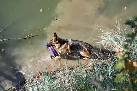 German shepherd runs along river and holds two blue toys puller rings in his teeth. Walk with dog in fresh air near pond in warm weather Stock fotó