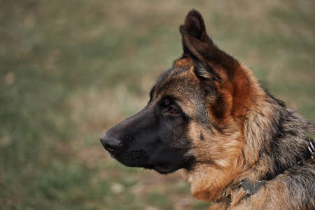 German Shepherd puppy breeding show, close up portrait on background of green grass. Charming cute grown up shepherd puppy. High bred dog with protruding ears.