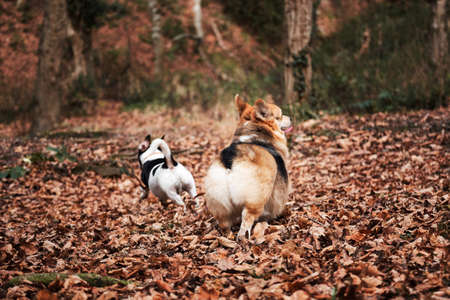 Walking with dogs in nature. Smooth haired Jack Russell Terrier and Welsh corgi Pembroke tricolor on walk. Two small purebred dogs are walking in autumn forest and enjoying life.