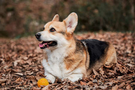 Pembroke tricolor Welsh corgi lies in woods in yellow dry autumn leaves next to rubber dog ball. Charming little English Shepherd with protruding ears. 版權商用圖片