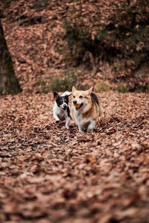 Smooth haired Jack Russell Terrier and charming young Welsh corgi Pembroke tricolor color runs through autumn forest and plays with ball. Two English breeds of dogs hunting and herding play together.