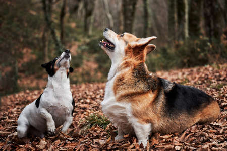 Black and white smooth haired Jack Russell Terrier and charming young Welsh corgi Pembroke tricolor color sit in autumn forest for walk. Two English breeds of dogs are hunting and herding.