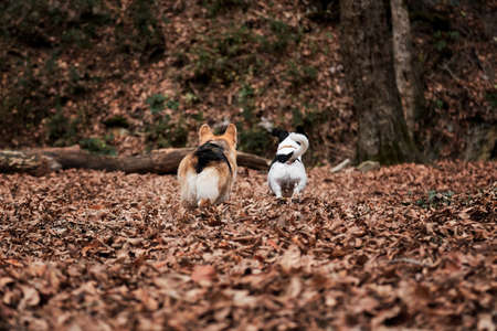 Black and white smooth haired Jack Russell Terrier and Welsh corgi Pembroke tricolor color quickly run through forest. Walk with two dogs in autumn forest. Hunting and herding British dog breed.
