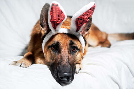 German shepherd of black and red color lies on white blanket with soft red rabbit toy ears. Dog is charming Easter bunny. Creative dog costume for celebrating Catholic Easter.