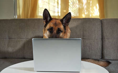 German Shepherd sits on couch with silver laptop and makes smart look. Charming worker lies at home in living room and does his job. Creative dog at remote work online.