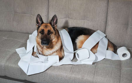 German Shepherd is lying on gray sofa wrapped in toilet paper. Dog indulged little when left alone at home and ate several rolls of toilet paper. Charming guilty pet with sad eyes.