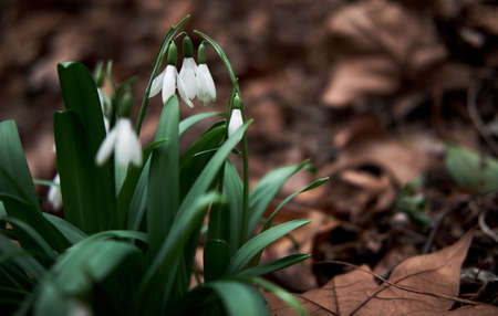 White snowdrops grow in forest in clearing. First wild spring flowers showed their leaves and petals after hibernation. Horizontal floral banner with space for text and soft bokeh.