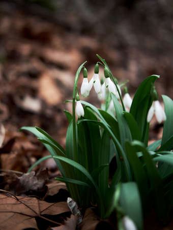 White snowdrops grow in forest in clearing. First wild spring flowers showed their leaves and petals after hibernation.