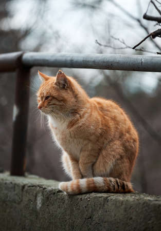 Portrait of lonely red striped street cat with hard fate and scratches on muzzle. Beautiful red haired young kitten sits and poses in nature. Archivio Fotografico