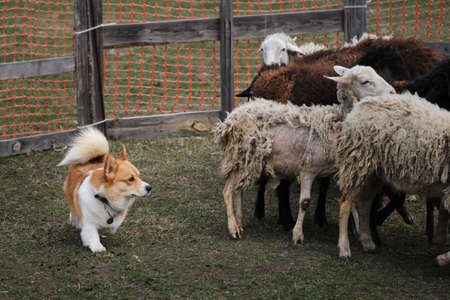 Welsh corgi Pembroke red white color with a long tail grazing sheep. Sports standard for dogs on the presence of herding instinct. A beautiful and intelligent little shepherd dog.