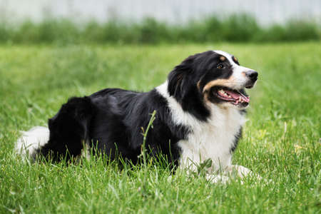 Charming black and white red tricolor border collie lies in park on green grass, looks carefully and smiles. British shepherd dog lies waiting. Smartest dog breed in the world.