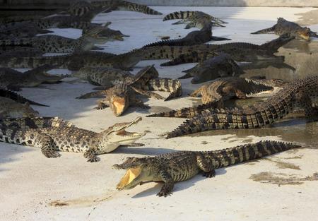 agape: Crocodile agape. Shot in Samut Prakan Crocodile Farm and Zoo. Samut Prakan, thailand Stock Photo