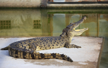 Crocodile agape. Shot in Samut Prakan Crocodile Farm and Zoo. Samut Prakan, thailand photo