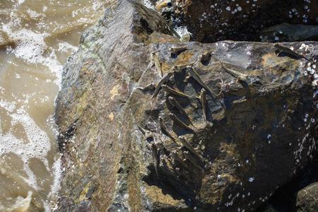 lungfish: Amphibious fish Sea Mudskipper