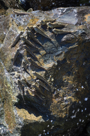 Amphibious fish Sea Mudskipper feed